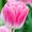 Тюльпан Dreamland (Дрим Лэнд) от 28 р. со склада в центре Новосибирска! #1525605
