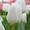 Тюльпан White Dream (Вайт Дрим) от 28 р. со склада в центре Новосибирска! #1525608