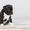 Щенки породы стаффордширский-бультерьер #1610064