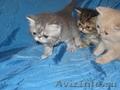 экзотические  котят