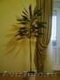 комнатное растение драцену