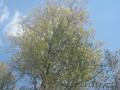 Семена липы,  лиственницы,  левзеи,  родиолы,  черемши,  пиона,  медуницы,  аконита
