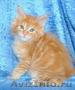 Котята мейн кун - домашние рысята из питомника Огненный Хвост