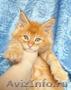 Котенок мейн кун мальчик из питомника