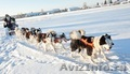 Необыкнов енные щенки якутской лайки