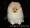 Продам редких щенков померанского шпица