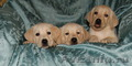 Лабрадора ретривера породистые щенки