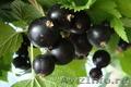 Саженцы Черной смородины