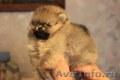 Миниатюрные щенки померанского шпица