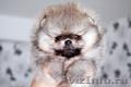 Миниатюрные щенки померанского шпица  - Изображение #2, Объявление #1525340