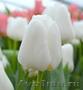 Тюльпан White Dream (Вайт Дрим) от 28 р. со склада в центре Новосибирска!