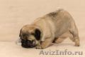 Продаю щенка мопа - Изображение #3, Объявление #1559265
