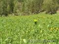 Купить землю на берегу реки Куюм 9,3 Гектара. Чемальский район.  - Изображение #9, Объявление #1501567