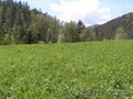 Купить землю на берегу реки Куюм 9,3 Гектара. Чемальский район.  - Изображение #4, Объявление #1501567